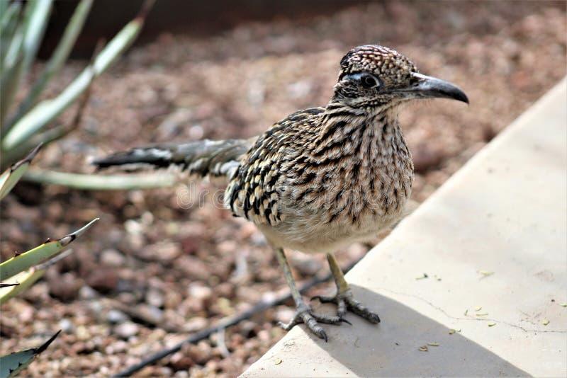 Jardim botânico Phoenix do deserto do Roadrunner, o Arizona, Estados Unidos imagem de stock
