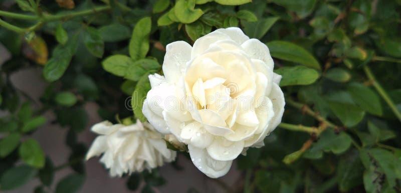 Jardim branco Rosa com gotas da chuva foto de stock royalty free