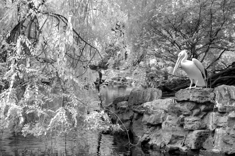 Jardim chinês clássico com pelicano, Sul da China foto de stock royalty free