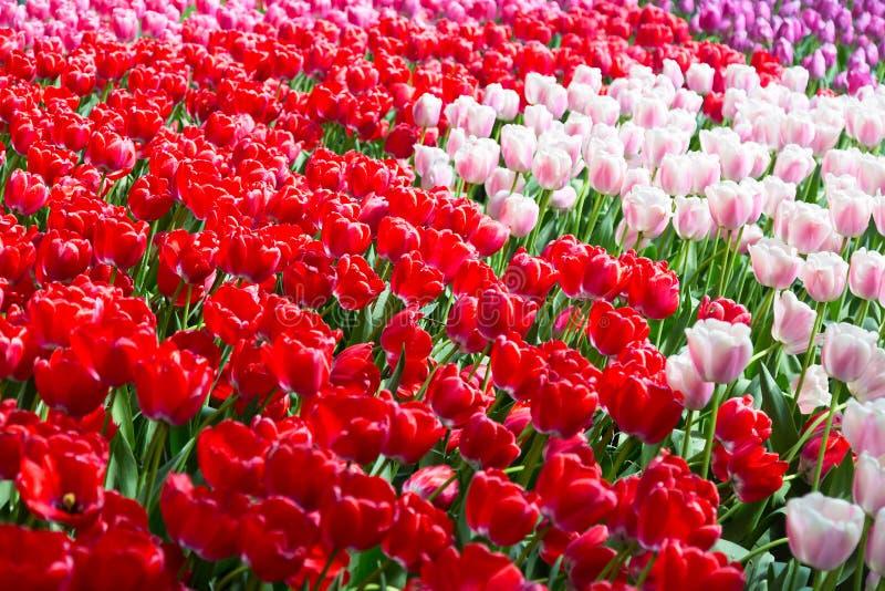 Jardim colorido de florescência do canteiro de flores das tulipas em público Local turístico popular Lisse, Holanda, Países Baixo imagem de stock royalty free