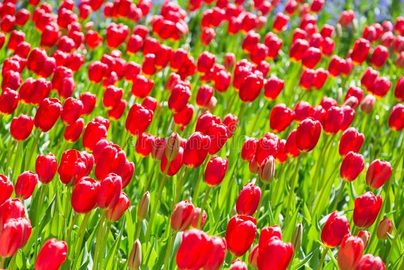 Jardim colorido de florescência do canteiro de flores das tulipas em público Local turístico popular Lisse, Holanda, Países Baixo fotografia de stock royalty free