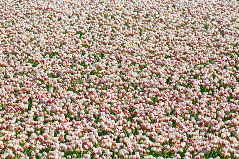 Jardim colorido de florescência do canteiro de flores das tulipas em público Local turístico popular Lisse, Holanda, Países Baixo imagens de stock royalty free