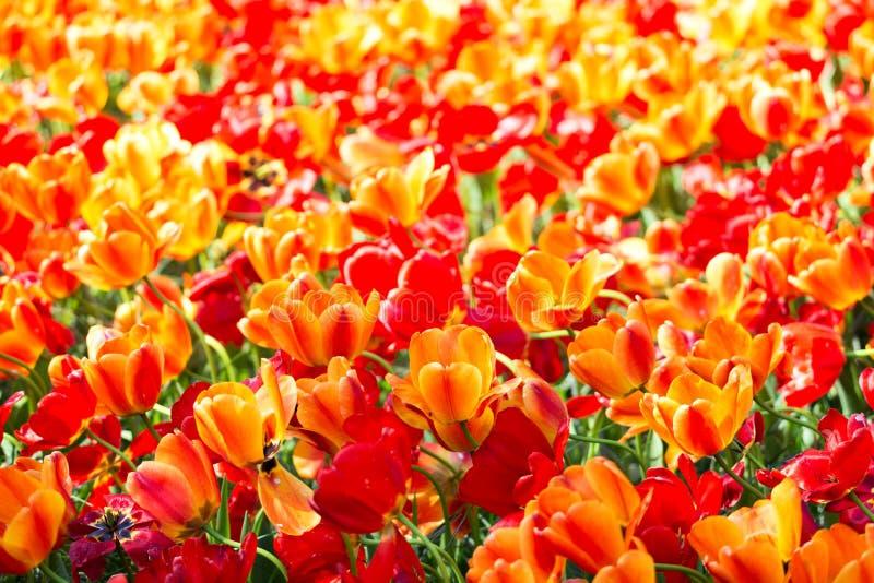 Jardim colorido de florescência do canteiro de flores das tulipas em público Local turístico popular Lisse, Holanda, Países Baixo foto de stock