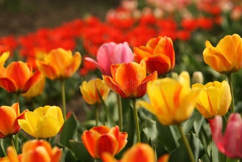 Jardim com muitos tulips imagem de stock royalty free