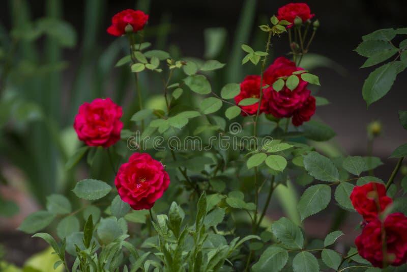 Jardim com os arbustos de rosas vermelhas muito bonitas e perfumadas fotografia de stock royalty free