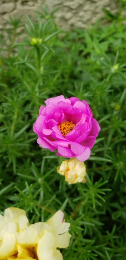 Jardim com planta carnuda cor-de-rosa imagem de stock