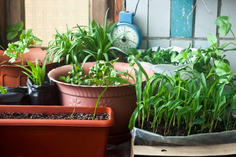 Jardim confortável do balcão - plântula e flores do milho foto de stock