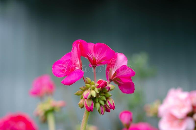 Jardim cor-de-rosa bonito das flores na primavera imagem de stock