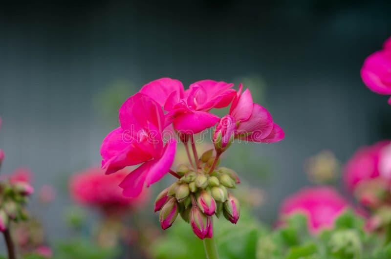 Jardim cor-de-rosa bonito do verão das flores na primavera foto de stock royalty free