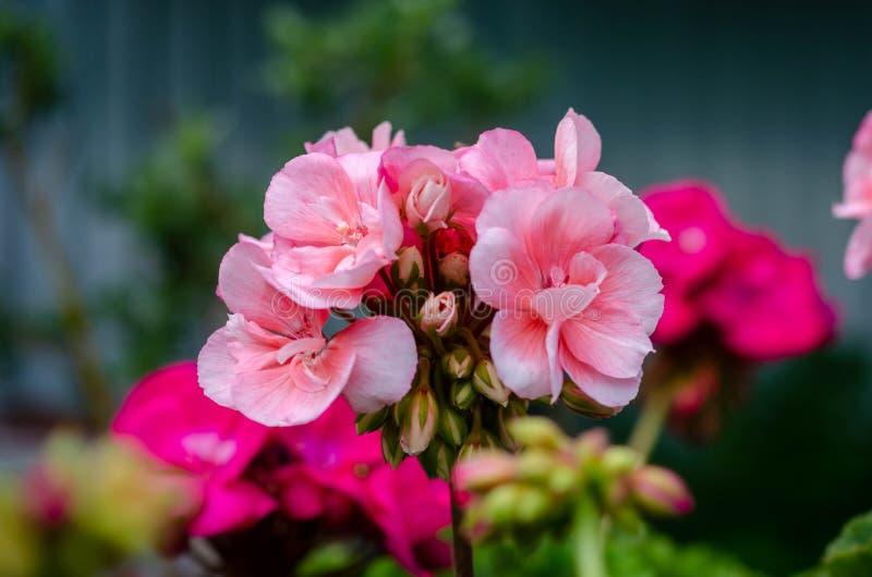 Jardim cor-de-rosa bonito do verão das flores na primavera fotografia de stock royalty free