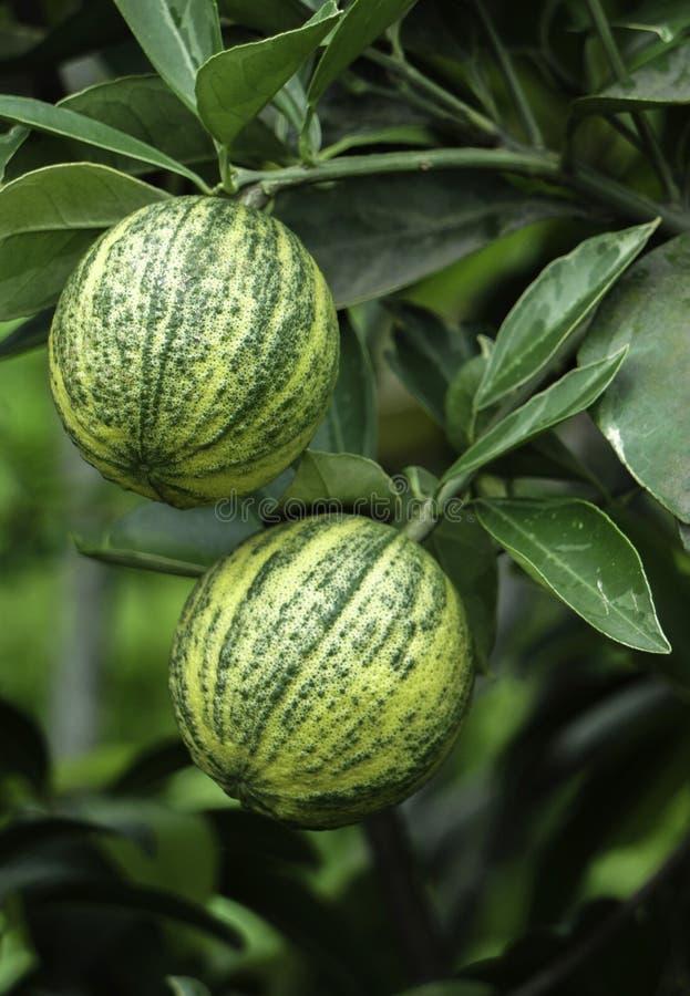 Jardim crescente do limão doce do fruto do limão da árvore de fruto de Malta foto de stock royalty free