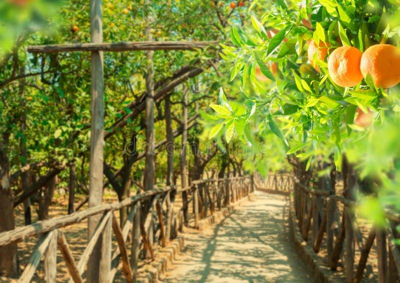 Jardim da árvore de tangerina foto de stock