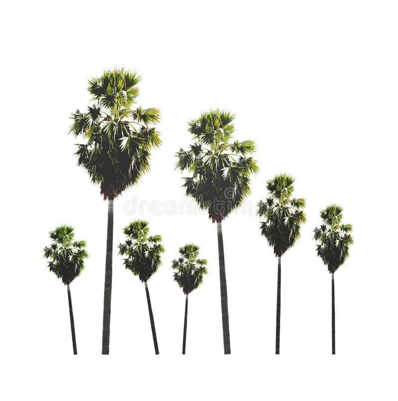 Jardim da árvore do açúcar da palma isolada no fundo branco fotografia de stock