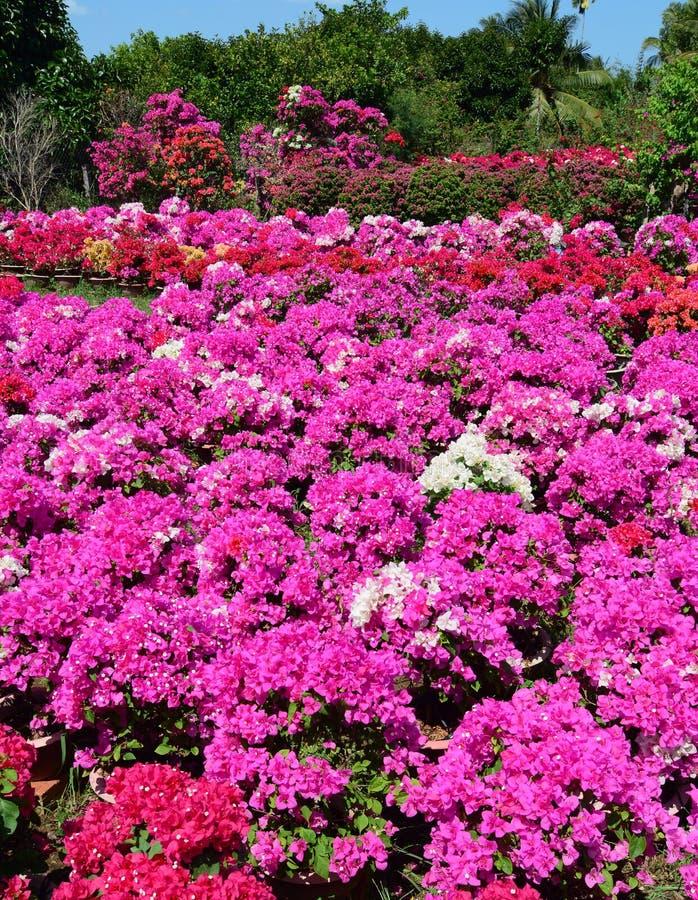 Jardim da buganvília em Vinh Long, Vietname fotos de stock royalty free
