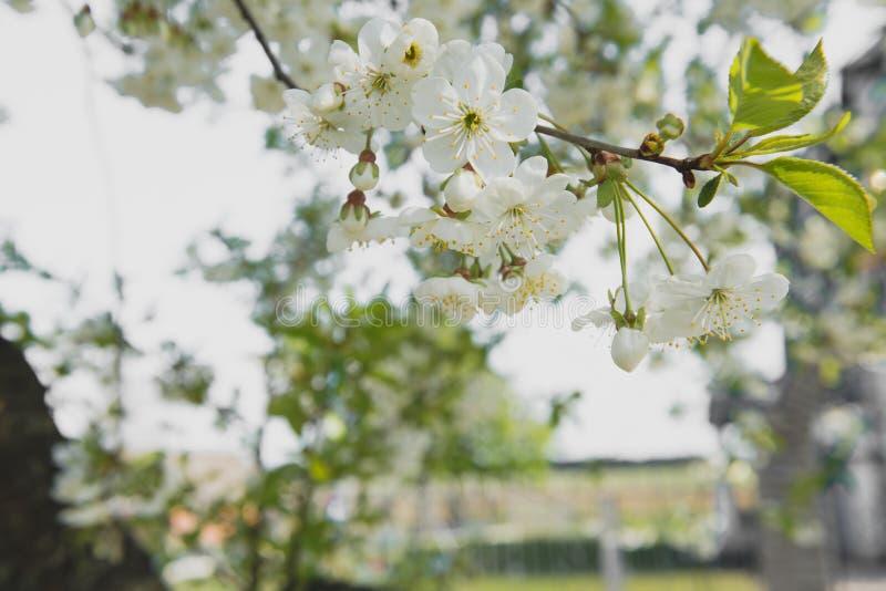 Jardim da cereja Fundo da flor da mola - beira floral abstrata das folhas do verde e das flores brancas fotografia de stock