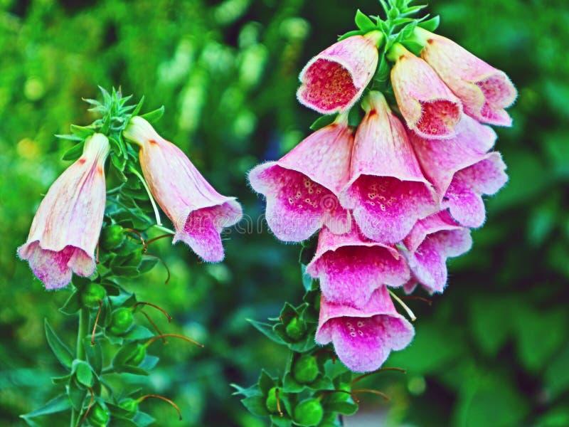 Jardim da digital de flores da digital imagens de stock royalty free