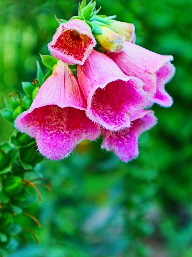 Jardim da digital da flor da digital foto de stock