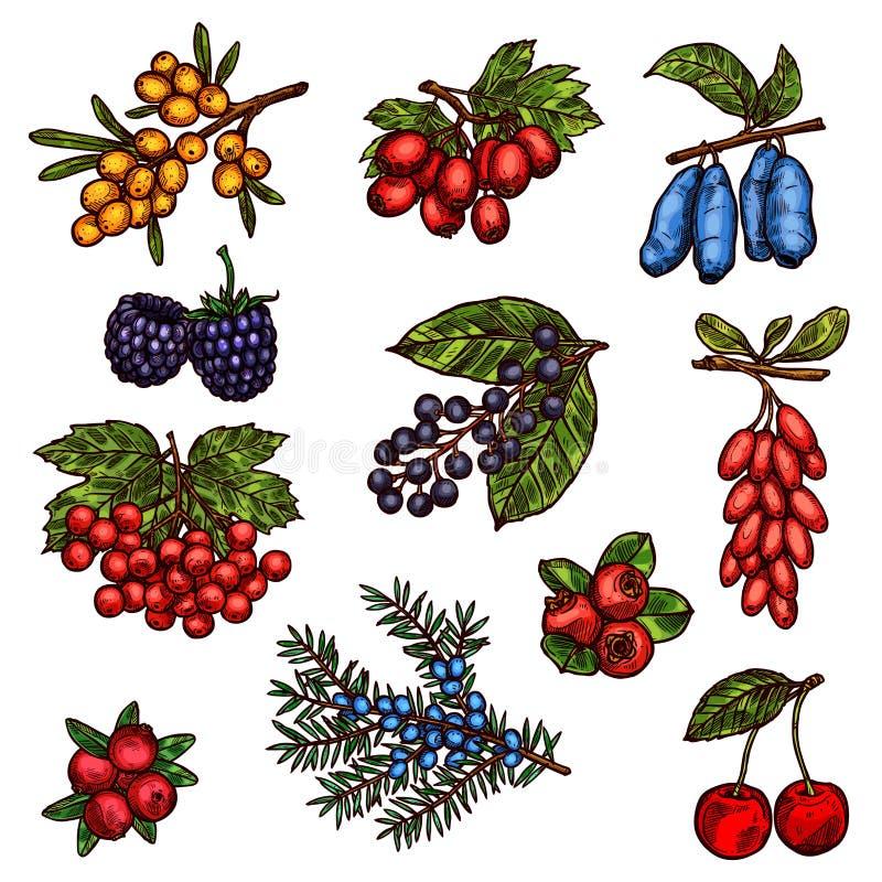 Jardim da exploração agrícola e frutos de baga selvagens da floresta ilustração do vetor