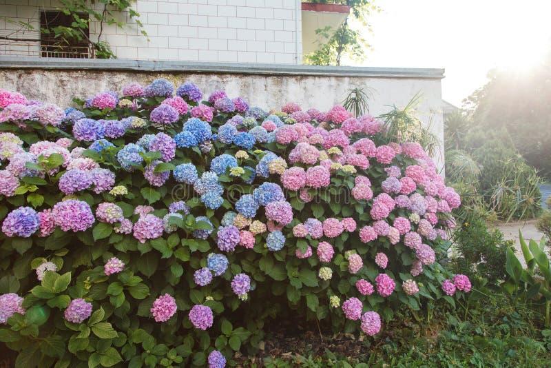 Jardim da hortênsia pela casa no por do sol Os arbustos são rosa, azul, lilás, roxo A conversão das flores está florescendo no ca imagens de stock royalty free
