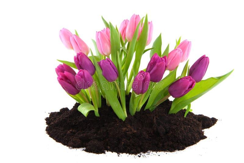 Download Jardim da mola imagem de stock. Imagem de jardim, tulips - 12810843