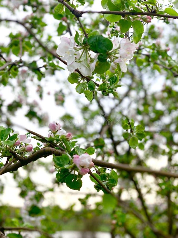 Jardim da mola com uma árvore de maçã de florescência fotos de stock royalty free