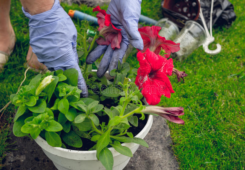 Jardim da mola Flores da transplantação em uns potenciômetros imagens de stock royalty free