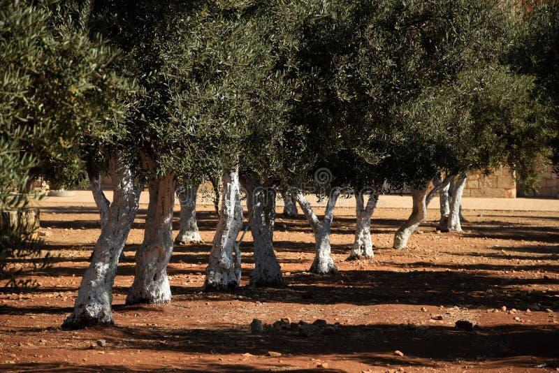 Jardim da oliveira no Jerusalém foto de stock royalty free