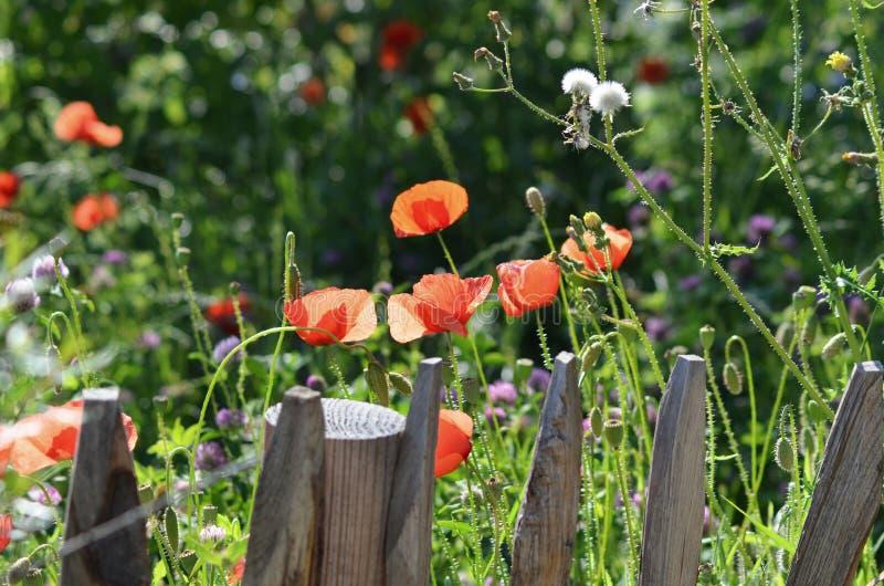 Jardim da papoila da flor selvagem com a cerca de piquete de madeira fotografia de stock