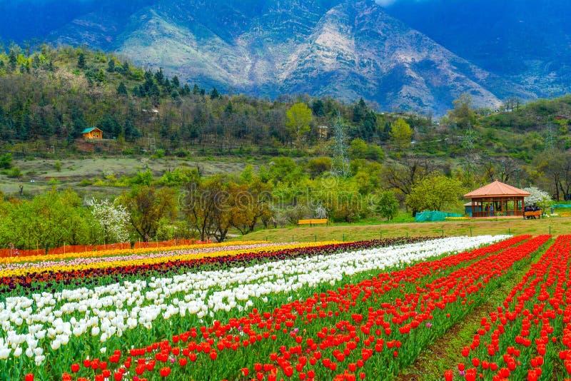 Jardim da tulipa no vale de Kashmir fotos de stock