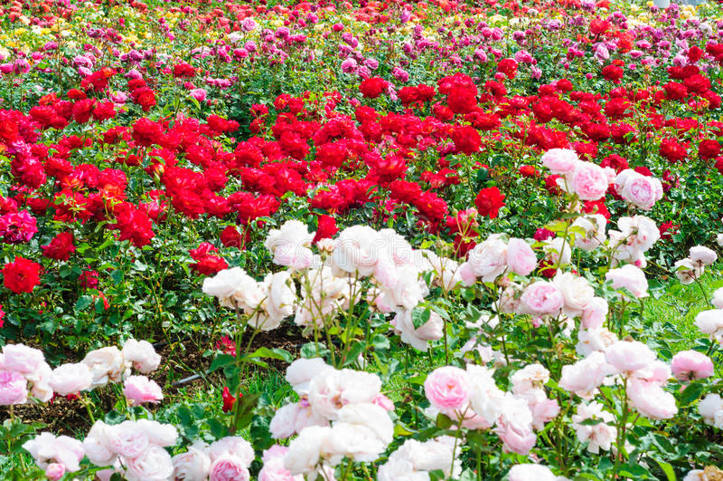 Jardim das rosas imagem de stock
