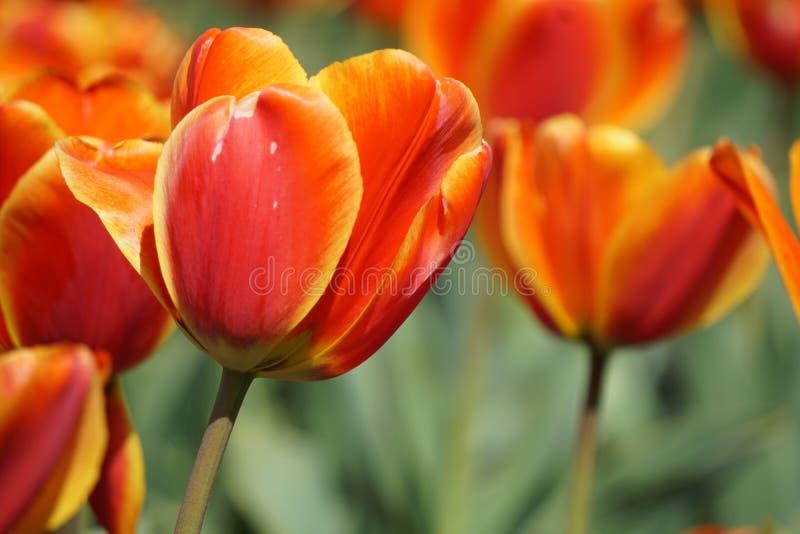 Jardim das tulipas no carrilhão holandês foto de stock royalty free