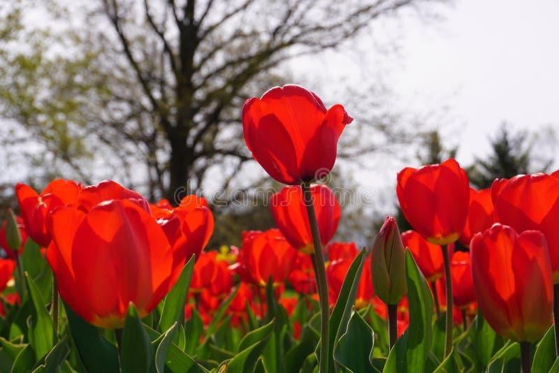 Jardim das tulipas no carrilhão holandês fotos de stock