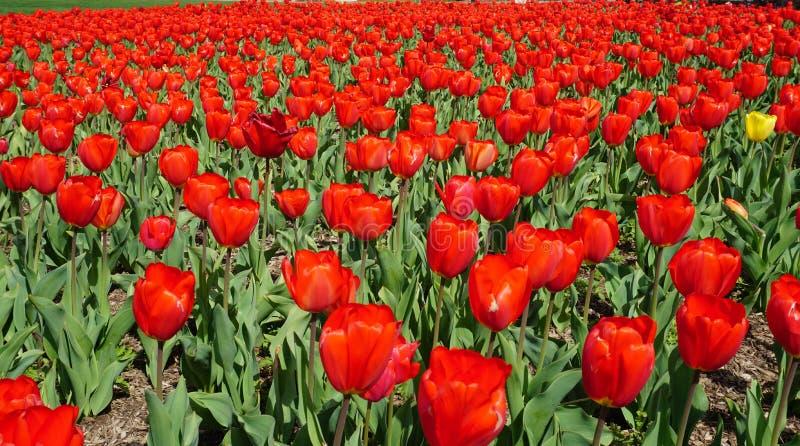 Jardim das tulipas no carrilhão holandês fotografia de stock royalty free