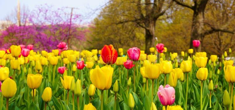 Jardim das tulipas no carrilhão holandês imagens de stock royalty free