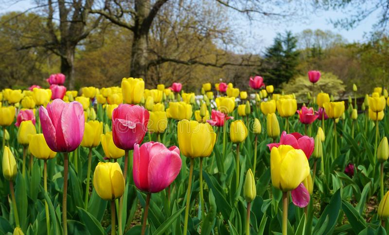 Jardim das tulipas no carrilhão holandês imagem de stock