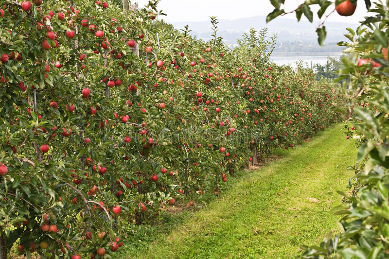 Jardim de Apple imagem de stock royalty free