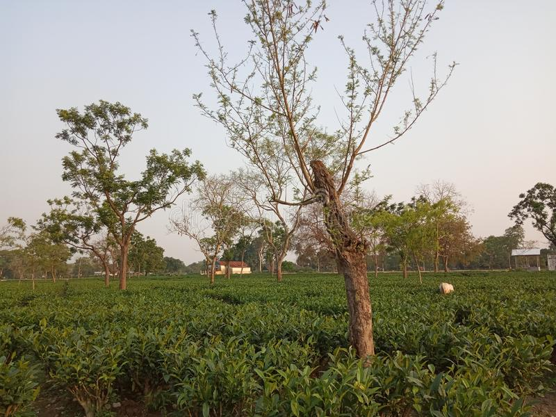 Jardim de chá de Assam foto de stock