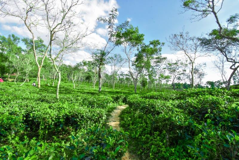 Jardim de chá em Bangladesh fotos de stock royalty free