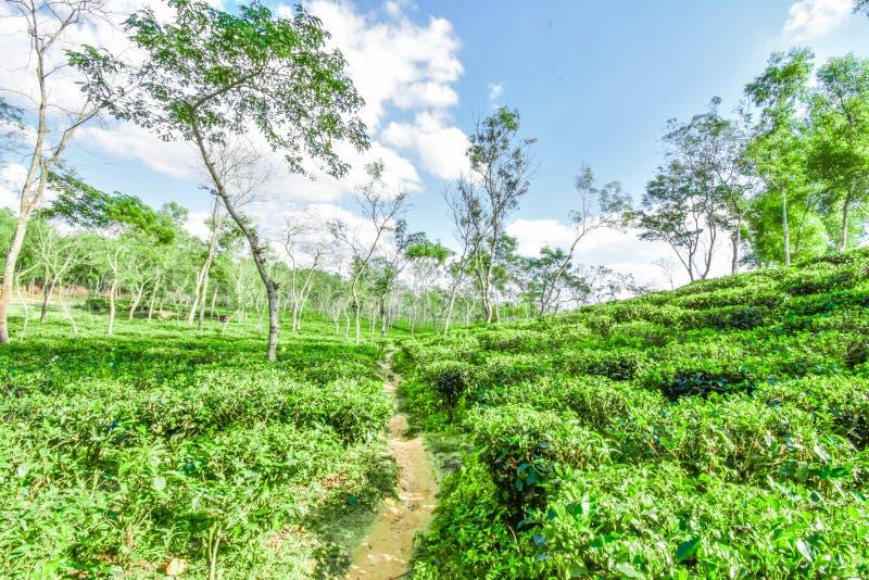 Jardim de chá em Bangladesh imagem de stock royalty free