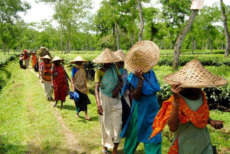 Jardim de chá em Sylhet, Bangladesh fotografia de stock