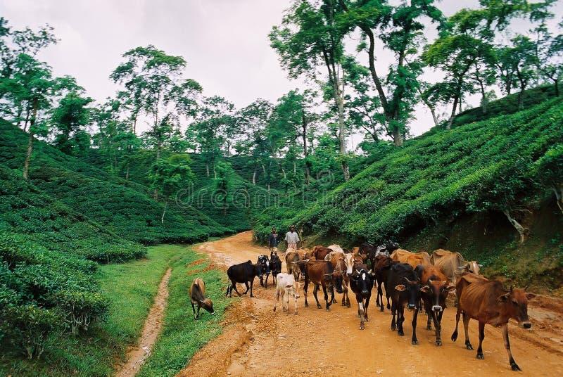 Jardim de chá em Sylhet, Bangladesh foto de stock