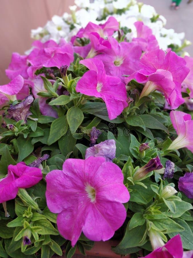Jardim de flores cor-de-rosa imagens de stock