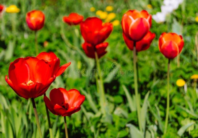 Jardim de flores da mola vermelha em R?ssia imagens de stock