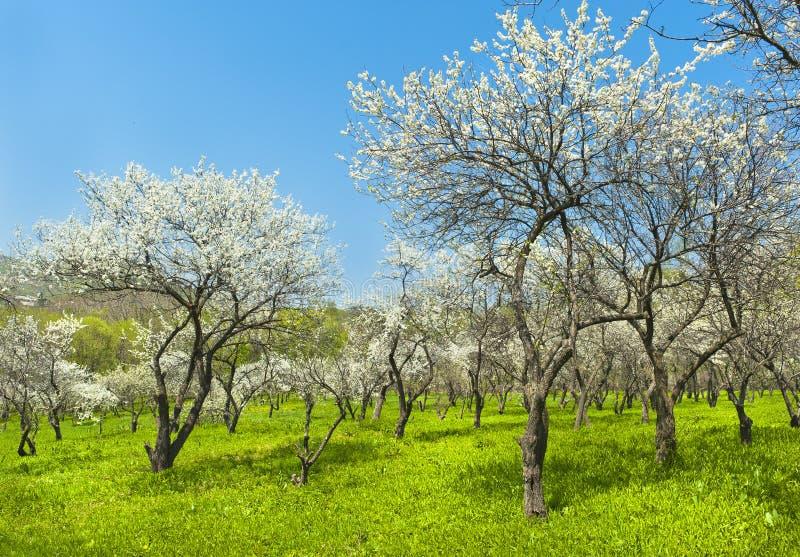 Jardim de florescência da mola das árvores de maçã fotografia de stock