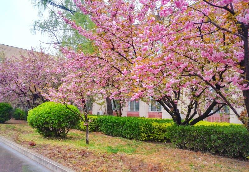 Jardim de florescência das árvores de cereja foto de stock
