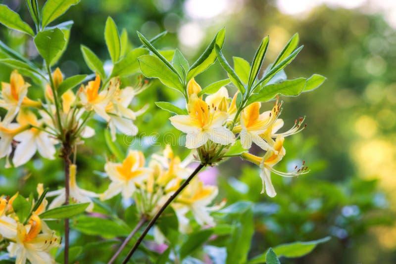 Jardim de florescência das flores do rododendro na primavera, fundo da natureza fotos de stock royalty free