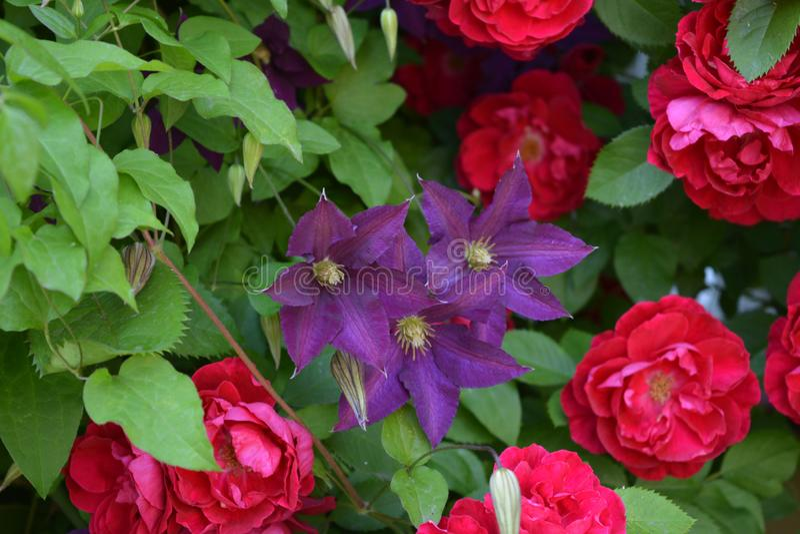 Jardim de florescência no verão - clematite roxa e flores cor-de-rosa vermelhas fotografia de stock