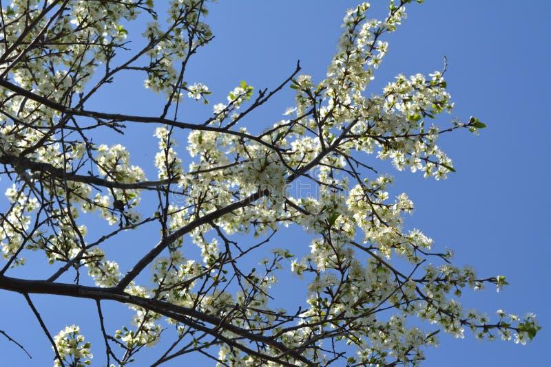 jardim de floresc?ncia bonito na mola Ramos da árvore de ameixa de florescência no fundo do céu azul imagens de stock royalty free