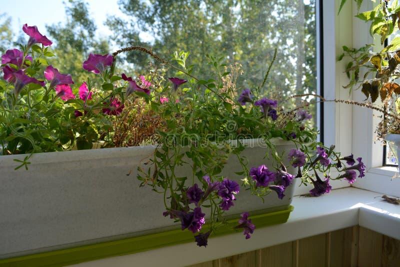 Jardim de floresc?ncia no balc?o As flores bonitas do pet?nia crescem no recipiente Natureza na HOME fotos de stock royalty free