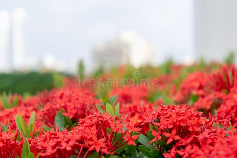 Jardim de Ixora Chinensis com arquitetura da cidade no fundo foto de stock royalty free